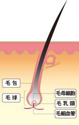 薄毛の原因|池袋ユナイテッドクリニック