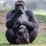 上野動物園のモモコが妊娠しました。