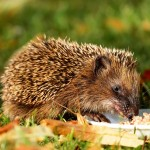 hedgehog-1584351_1920