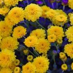 yellow-chrysanthemum-3767563_960_720